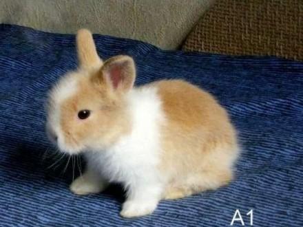 Króliczki króliki karzełki TEDDY! Dwa maluszki!