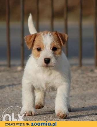 Jack Russell Terrier - piesek RODOWÓD FCI po Championie