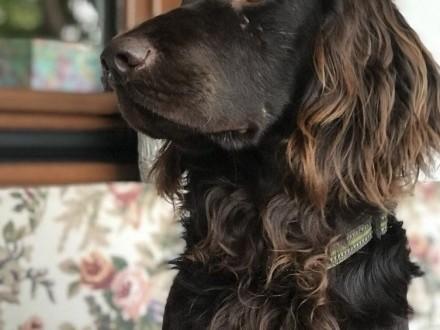 Zaginął pies - okolice Bałtowa - płochacz niemiecki