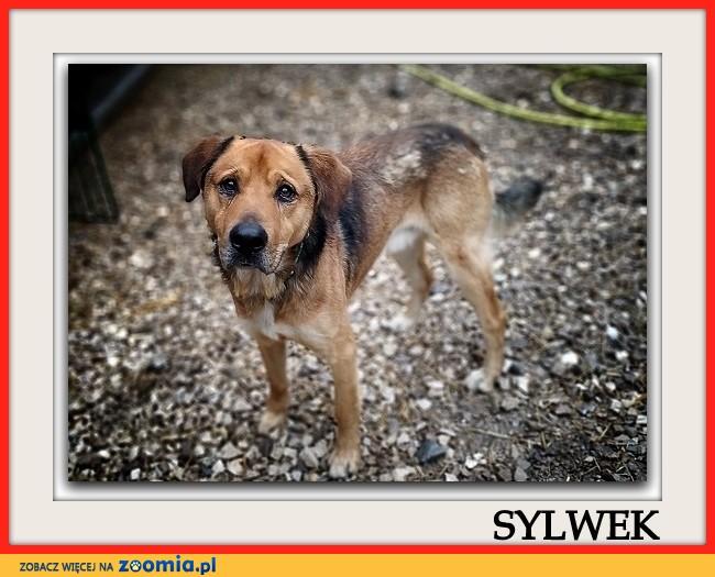 Stróżujący,duży 25 kg,młody 1,5 roku,zaszczepiony pies SYLWEK_Adopcja_