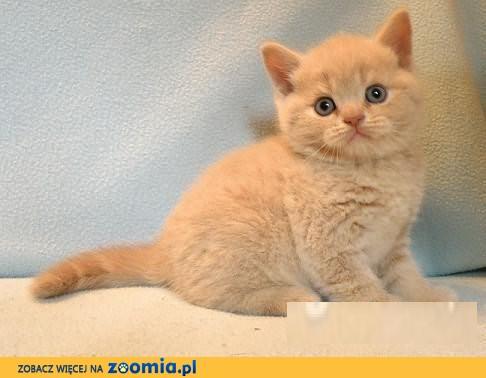 Kocięta Brytyjskie Kremowe Rodowodowe Brytyjski Koty Archiwum