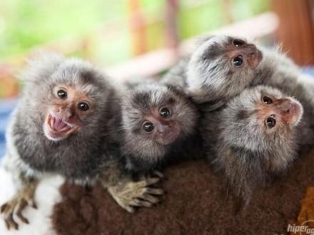 Małpka Marmozeta Białoucha 2 miesiące z dokumentami