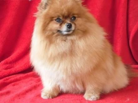 Sprzedam suczkę Pomeranian   mazowieckie Warszawa