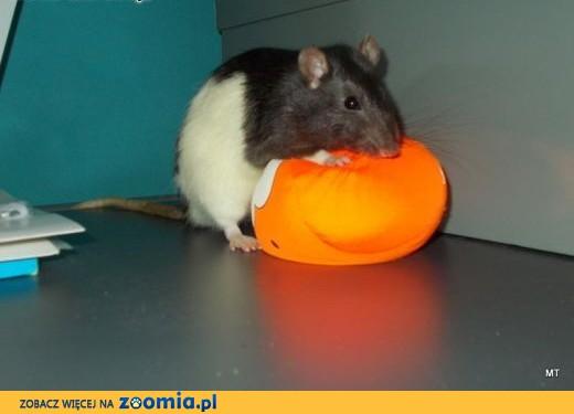 Szczurek szuka kochajacego właściciela,  mazowieckie Warszawa