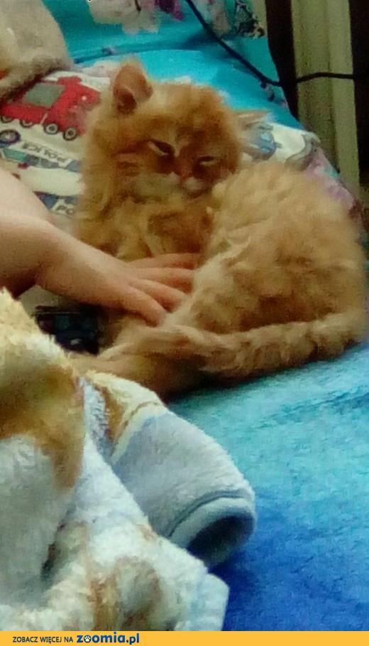 kotek perski.,  śląskie Czeladź