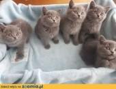 Kocięta,kotki brytyjskie,rodowód,mazowieckie,  mazowieckie Warszawa