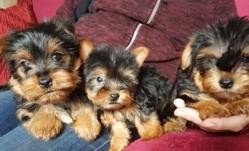 York  Yorkshire Terrier śliczne szczeniaczki na sprzedaż