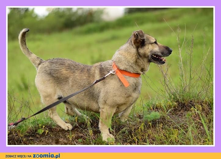 18 kg, krótkie łapki, masywna budowa,łagodny,spokojny pies PAKER_Adopcja_