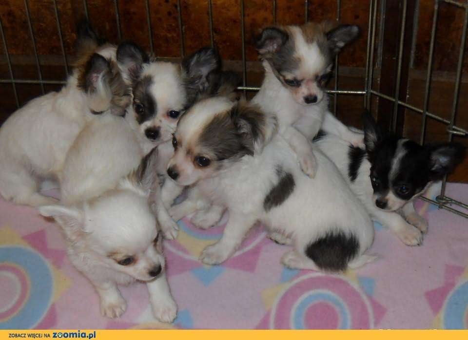 Chihuahua długowłose z rodowodem FCI. SUPER OKAZJA>