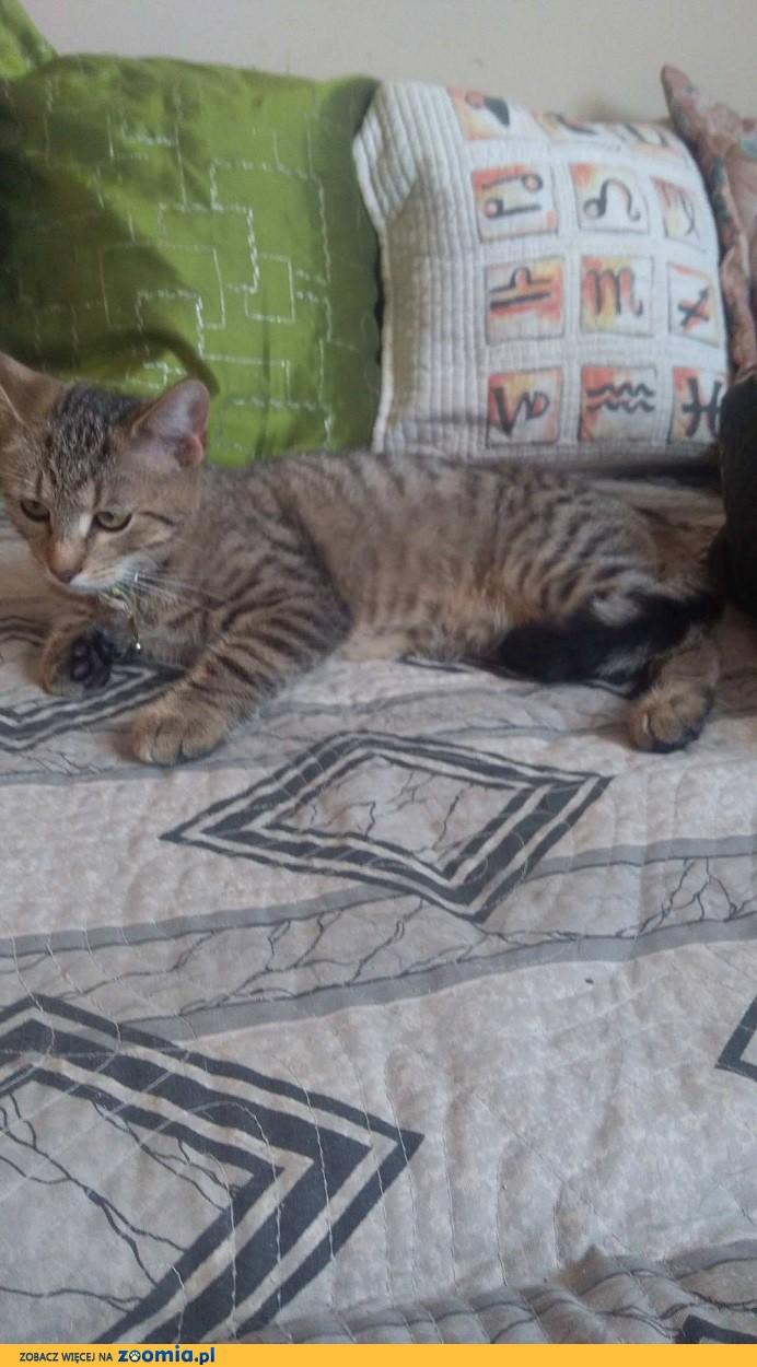 Burasek - kot leśno - domowy