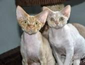 Devon Rex - kocięta z rodowodem FPL