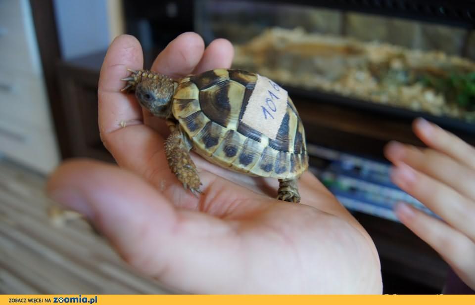 Sprzedam żółwie greckie 2 letnie cites ! dowóz aktualne, Gdańsk