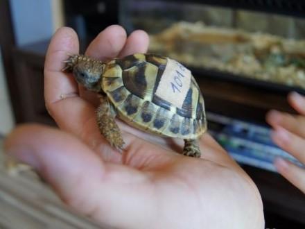 Sprzedam żółwie greckie 2 letnie cites ! dowóz aktualne  Gdańsk
