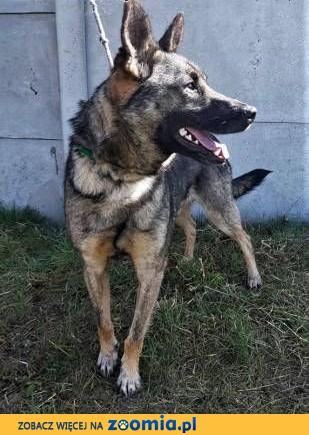 SZARIK - cudowny psiak w typie owczarka, już 3 lata czeka na dom...,  mazowieckie Warszawa