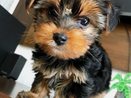 Yorkshire Terrier piesek 3 miesiące /FCI/