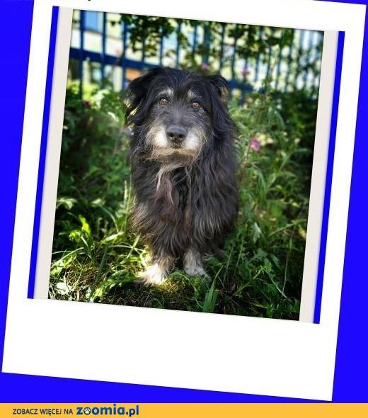 Sznaucer mix,spokojny,towarzyski,wesoły pies ALF szuka domu.ADOPCJA,  dolnośląskie Wrocław