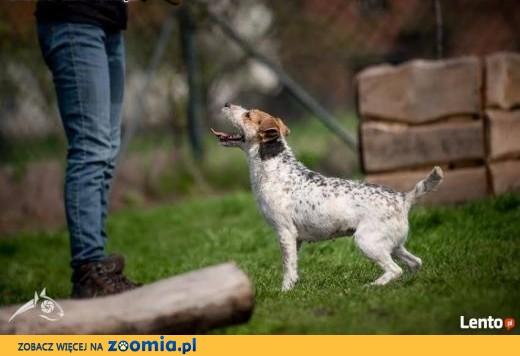 Cudowna Zyzia w typie jack russel terriera szuka domu!,  małopolskie Kraków