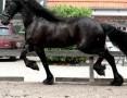'Frisian klacz koń 6 lat na sprzedaż,  warmińsko-mazurskie Bartoszyce