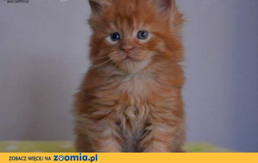 Maine Coon kocięta,  Koty maine coon cała Polska