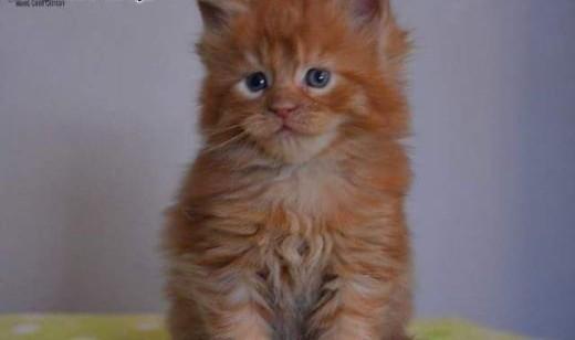 Maine Coon kocięta   Koty maine coon cała Polska