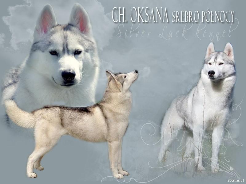 SIBERIAN HUSKY_SYBERIAN_HASKI Piękne szczenięta po CHAMPIONACH!