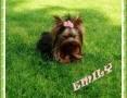 York, Yorkshire Terrier! Reproduktor 1,20kg, krycie! ,Myślenice,  małopolskie Kraków