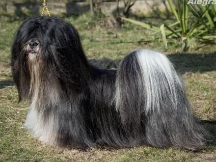 Lhasa Apso-REPRODUKTOR! Unikatowy Rodowód!