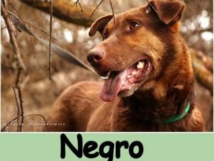 Duży 30 kg  aktywny energiczny czekoladowy pies NEGRO Adopcja     małopolskie Kraków