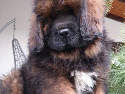 Mastif Tybetański FCI szczeniaki