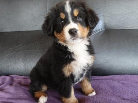 Szczeniaki - berneński pies pasterski