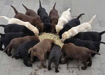 labradory biszkoptowe  czarne  czekoladodwe szczeniaki