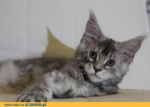 Koteczka Maine Coon Java z rodowodem po utytuowanych rodzicach!
