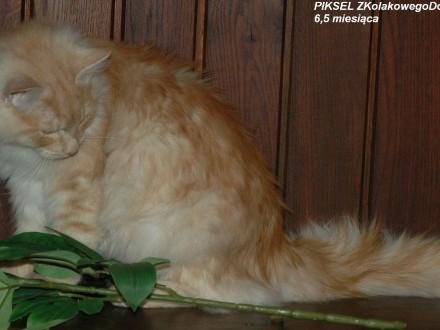 Koty Syberyjskie (FPL)-PIKSEL ZKolakowegoDomu*PL
