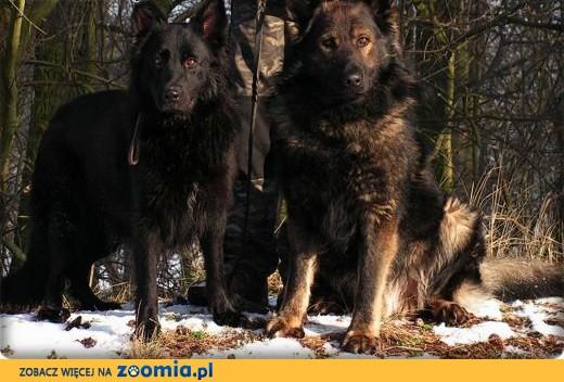 Owczarki Niemieckie Długowłose ! STARONIEMIECKIE- Linia DDR !,  Owczarek niemiecki cała Polska