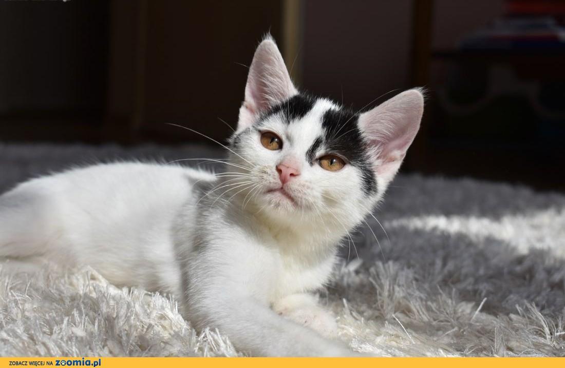 Malwinka - niezwykle delikatna kocia osobowość czeka na dom,  śląskie Gliwice