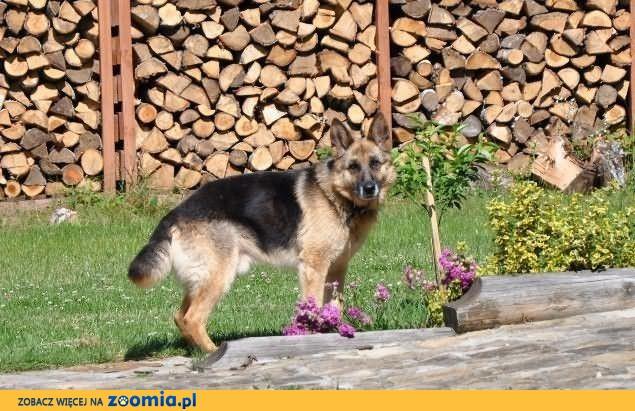 Iwo, owczarek niemiecki do adopcji