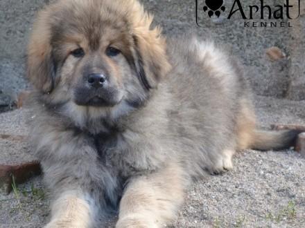 Mastif tybetański dostępne złote suczki już do odbioru ZKwP
