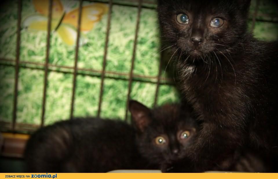 """7 tygodniowe """"Rowerowe kociaki"""" do adopcji !"""