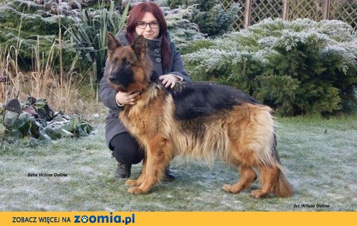 Owczarki niemieckie długowłose- szczenięta z rodowodem,  zachodniopomorskie Szczecin
