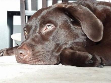 Pies  Labrador Retriever - do krycia za darmo   opolskie Opole