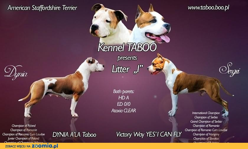 American Staffordshire Terrier, Amstaff, Planowany miot,  FCI