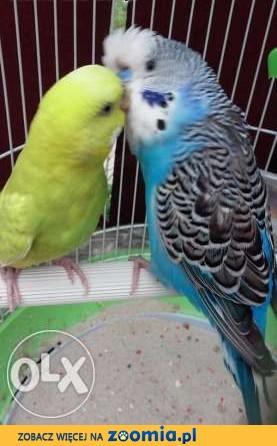 2 papużki faliste z wyposażeniem ,  śląskie Gliwice