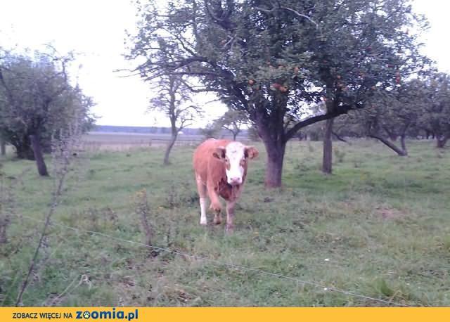 Jałówka - Limousine