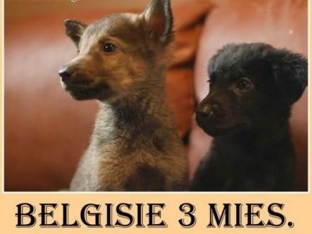 7tyg szczeniaki średnie odrobaczone BELGUSIEAdopcja   dolnośląskie Wrocław