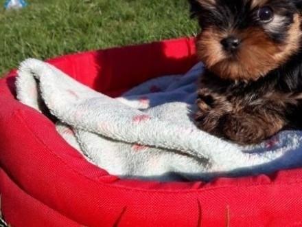 Yorkshire Terrier, york - szczeniak