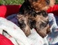 'Yorkshire Terrier, york - szczeniak