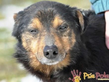 MIŚ-malutki  pogodny  spokojny starszy psiak prosi o dobry dom  adopcja