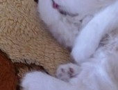 Pers /kotka Perska / kocieta Perskie,  śląskie Radzionków