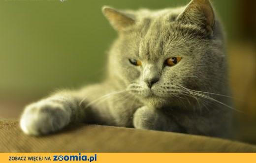 Kot Brytyjski, Już są ! Kocięta Brytyjskie rodowód FPL,  dolnośląskie Jawor