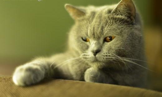 Kot Brytyjski  Już są ! Kocięta Brytyjskie rodowód FPL   dolnośląskie Jawor